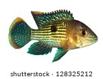 Small photo of Green Terror Cichlid (Aequidens rivulatus)