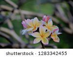 frangipani or plumeria or... | Shutterstock . vector #1283342455