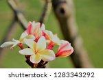 frangipani or plumeria or... | Shutterstock . vector #1283343292