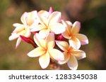 frangipani or plumeria or... | Shutterstock . vector #1283345038
