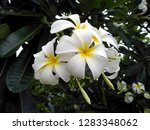 frangipani flowers in the... | Shutterstock . vector #1283348062