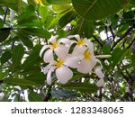 frangipani flowers in the... | Shutterstock . vector #1283348065
