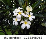 frangipani flowers in the... | Shutterstock . vector #1283348068