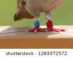 homing pigeon  racing pigeon or ... | Shutterstock . vector #1283372572