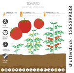 tomato beneficial features... | Shutterstock .eps vector #1283399338