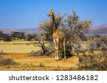 african giraffe  giraffa... | Shutterstock . vector #1283486182
