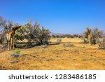 african giraffe  giraffa... | Shutterstock . vector #1283486185