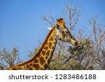 african giraffe  giraffa... | Shutterstock . vector #1283486188