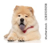 cute chow chow wearing red... | Shutterstock . vector #1283535058
