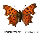 The Comma  Polygonia C Album