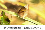 elymnias caudata  the tailed... | Shutterstock . vector #1283769748
