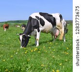 cow on a summer pasture.    Shutterstock . vector #1283773675