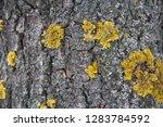 common yellow lichen xanthoria...   Shutterstock . vector #1283784592