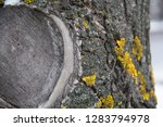 old dry tree trunk with sawed...   Shutterstock . vector #1283794978