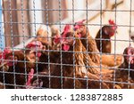 hen and rooster in cage at farm....   Shutterstock . vector #1283872885