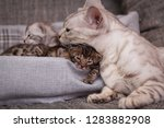 Stock photo amazing silver bengal cat with her kittens 1283882908