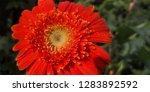 detail of an orange gerbera ... | Shutterstock . vector #1283892592