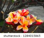 plumeria flower pink and white... | Shutterstock . vector #1284015865