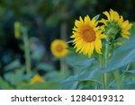 sunflower in sunflower field ... | Shutterstock . vector #1284019312