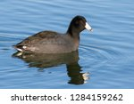An American Coot Swimming On A...