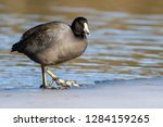 An American Coot Walking On Ice