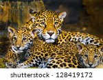 little baby jaguar playing with ... | Shutterstock . vector #128419172
