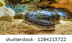 burmese python crawling over...   Shutterstock . vector #1284215722