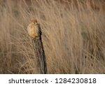 common kestrel  falco... | Shutterstock . vector #1284230818