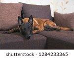 cute young belgian shepherd dog ...   Shutterstock . vector #1284233365