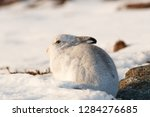 Stock photo white mountain hare lepus timidus in scottish highland these hare change their fur colour white 1284276685