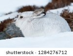 Stock photo white mountain hare lepus timidus in scottish highland these hare change their fur colour white 1284276712
