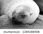 Sleeping Seal In South Africa