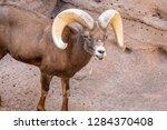 an arizona mountain goat... | Shutterstock . vector #1284370408