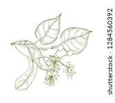 elegant drawing of linden...   Shutterstock .eps vector #1284560392