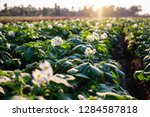 fresh organic potatoes in the... | Shutterstock . vector #1284587818