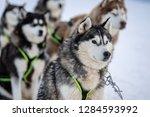 husky sled in the mountain  | Shutterstock . vector #1284593992