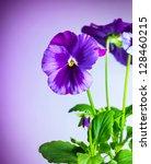 Photo Of Beautiful Purple Pansy ...