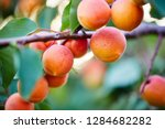 A Bunch Of Ripe Apricots On A...