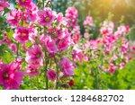 Beautiful Pink Flower Of...