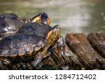 turtles in the sun on the lake ...   Shutterstock . vector #1284712402