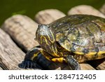 turtles in the sun on the lake ...   Shutterstock . vector #1284712405