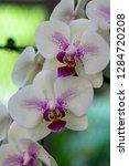 orchid in the botanical garden...   Shutterstock . vector #1284720208