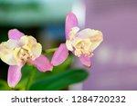 orchid in the botanical garden...   Shutterstock . vector #1284720232