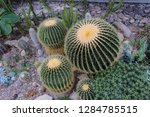 cacti in a botanical garden   Shutterstock . vector #1284785515