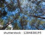 bottom view under pine tree in...   Shutterstock . vector #1284838195