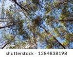 bottom view under pine tree in...   Shutterstock . vector #1284838198