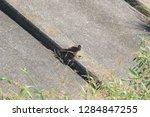 sturgeon living in an urban... | Shutterstock . vector #1284847255