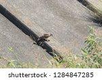 sturgeon living in an urban... | Shutterstock . vector #1284847285