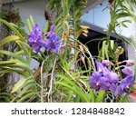 purple orchids in a botanical...   Shutterstock . vector #1284848842