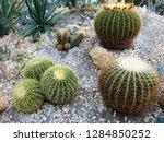 echinocacti in a botanic garden   Shutterstock . vector #1284850252
